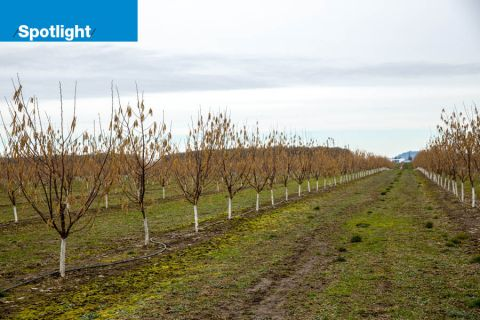 Hazelnut trees at Third Knight Farms near Albany