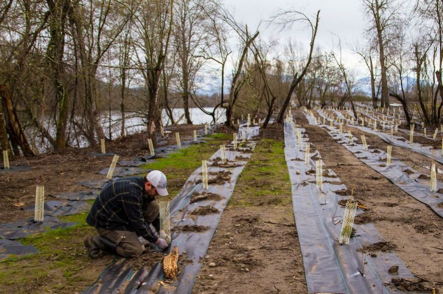 Tree planting along the Rogue river, part of a Freshwater Trust water quality trading program